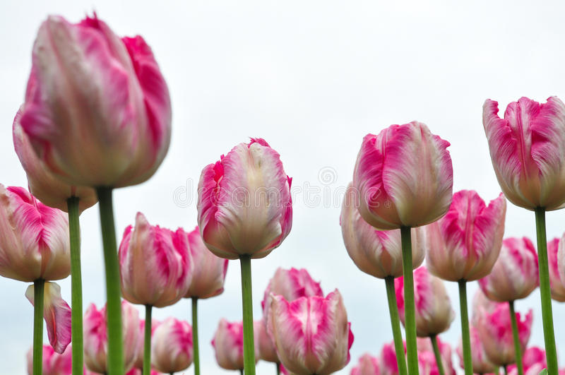 Beautiful pink and white tulips. pink tulips in the garden. Beautiful pink tulips. pink tulips in the green garden stock photos