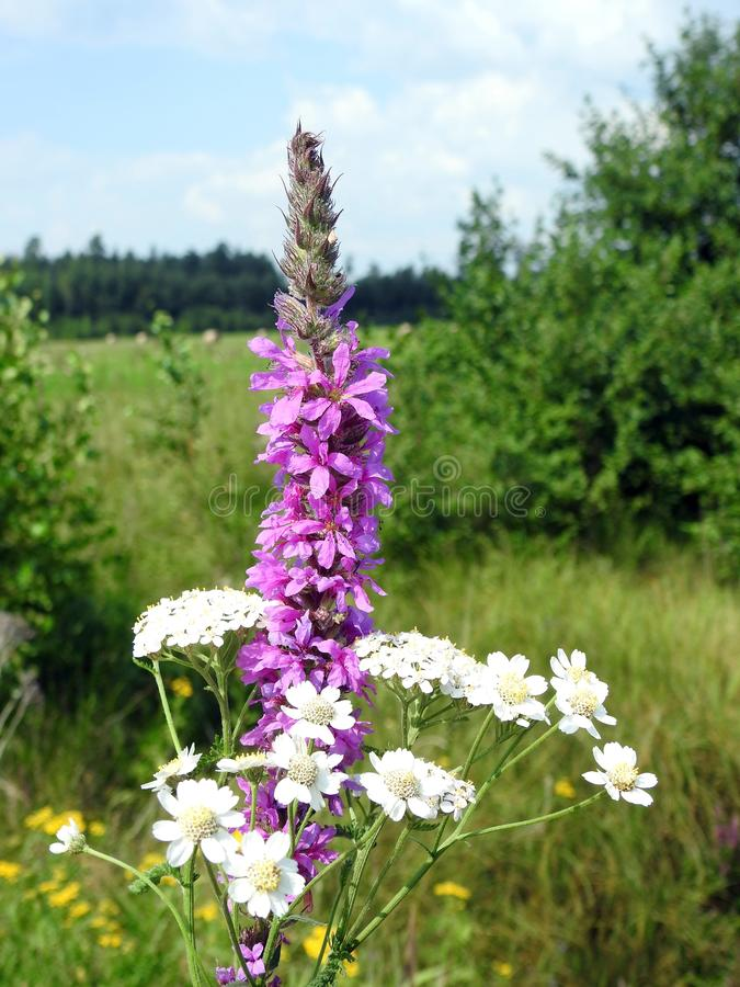 Beautiful pink and white wild flowers, Lithuania stock photo