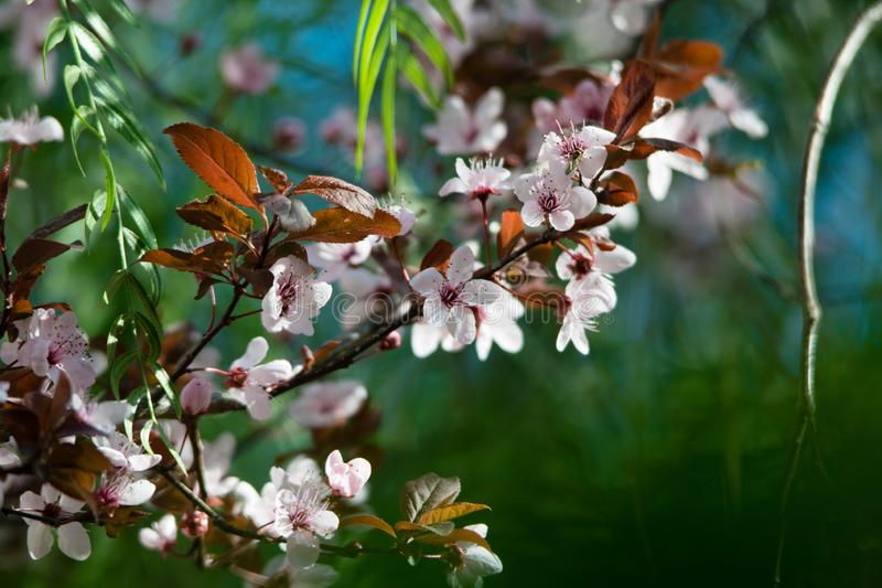 Beautiful pink wild cherry blossom, flower at full bloom in spring in a beautiful sunny and windy day. Spain stock image