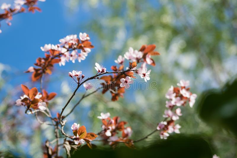 Beautiful pink wild cherry blossom, flower at full bloom in spring in a beautiful sunny and windy day. Spain stock photography