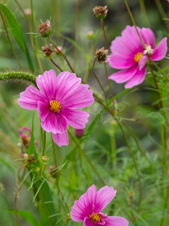 Beautiful Pink Wildflowers in Bloom. With a soft blurry background royalty free stock photography