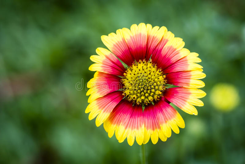 Beautiful pink and yellow flower in the garden stock photo