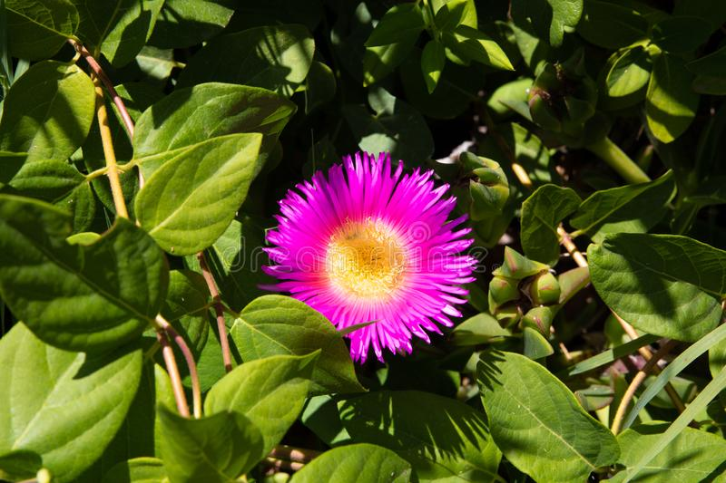 Beautiful pink and yellow flower named Carpobrotus edulis also known as Ice plant, Hottentot-fig, Pigface or sour fig in green stock photo