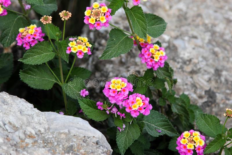 Beautiful flowers in stones royalty free stock photos