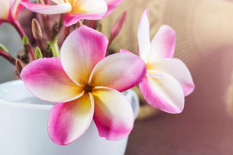 Dreamy beautiful pink yellow frangipani or plumeria flowers in cup stock photography