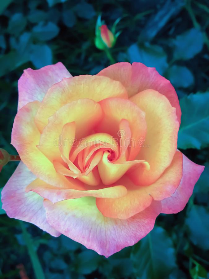 Beautiful pink yellow rose flower color. Beautiful rose flower, background wallpaper website artwork greeting postcard stock photography