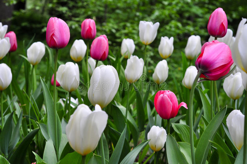 Beautiful pinkand white tulips. pink tulips in the garden. Beautiful pink tulips. pink tulips in the green garden royalty free stock image