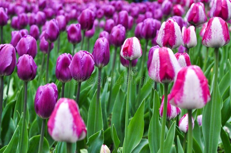 Beautiful pinkand white tulips. pink tulips in the garden. Beautiful pink tulips. pink tulips in the green garden stock photo