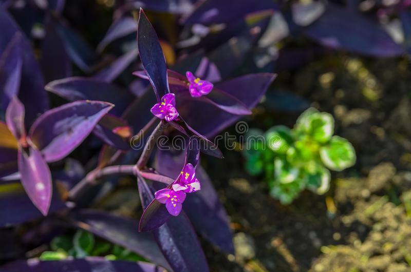 Purple tradescantia spiderwort. Nice and comfortable great garden. Beauty nature landscape. Summer or spring walk. Beautiful places of the Nikitsky Botanical stock image