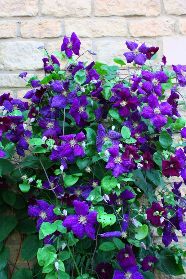 A Beautiful plant with blue purple flowers. Beautiful blue purple flowering plant stock photos