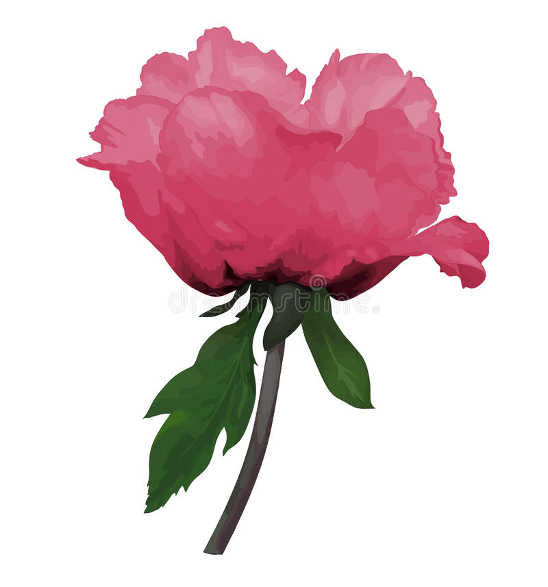 Beautiful Plant Paeonia arborea (Tree peony) pink flower with stem and leaves with the effect of a watercolor drawing isolated on royalty free illustration