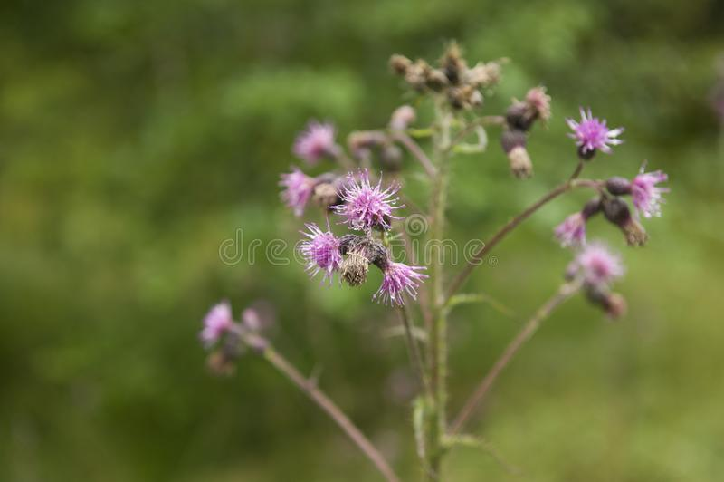 A beautiful plant that produces small purple blooms in Norway. A beautiful plant that produces small purple blooms somewhere in Norway royalty free stock photos