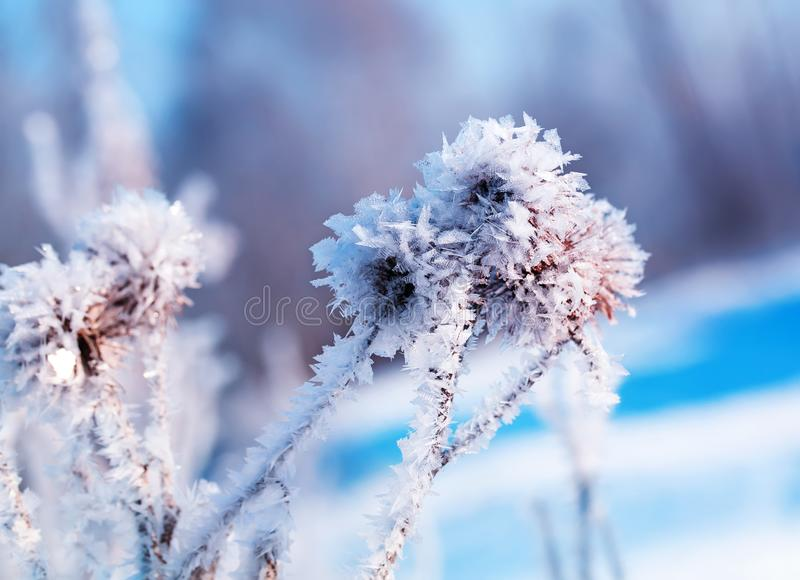 Beautiful plant seeds burdock covered with white shiny crystals stock images