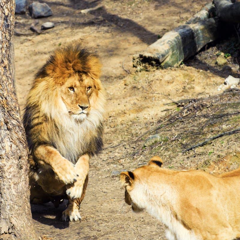 Beautiful playful Mighty Lion. Africa, aggressive, angry, animal, attentive, beasts, big, carnivore, cat, closeup, danger, dangerous, face, fang, feline, fur stock photos