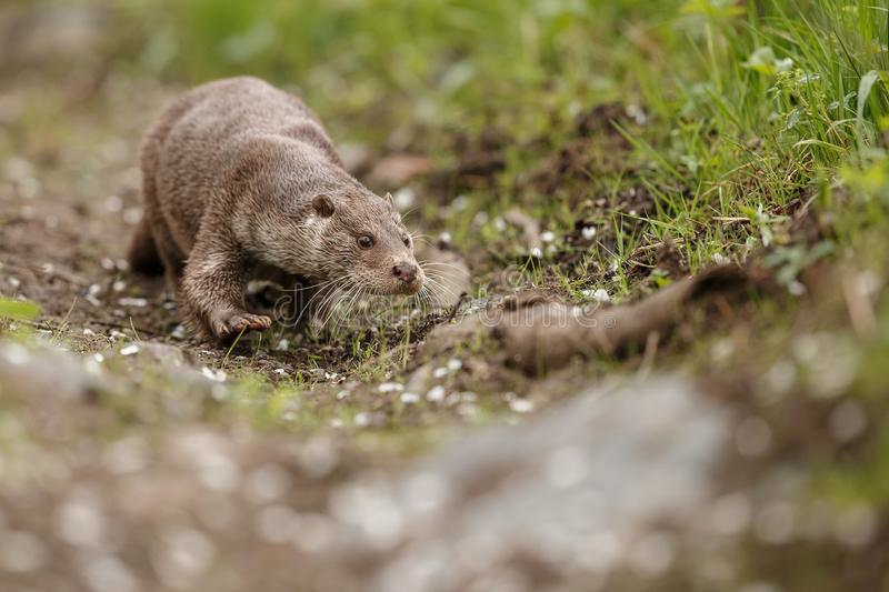 Beautiful and playful river otter in the nature habitat in Czech Republic royalty free stock image