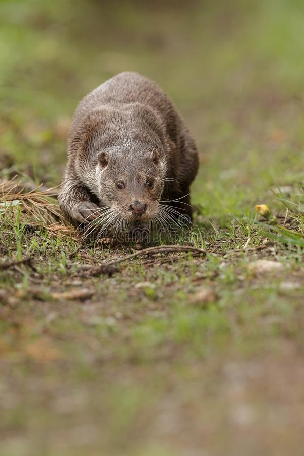 Beautiful and playful river otter in the nature habitat stock photo