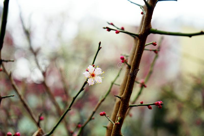 The first blooming plum flower stock photography