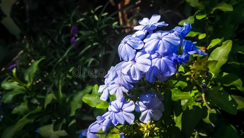 Beautiful plumbago aurculata flower with a beautifull background and rightly clicked with a right focus point. Beautiful plumbago aurculata flower with a stock photos