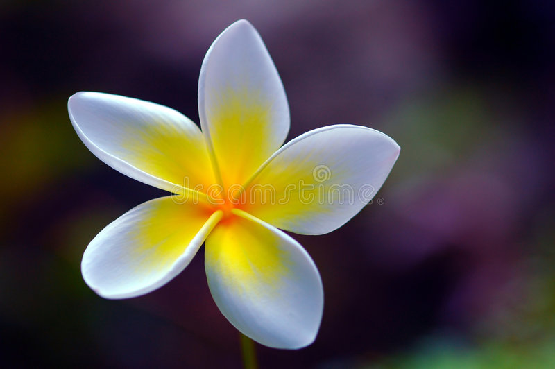 Beautiful Plumeria. Close up of a beautiful plumeria flower stock photo