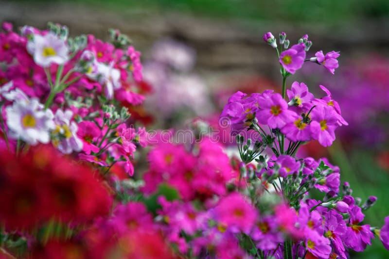 The beautiful Plumeria flowers close up background. stock photos