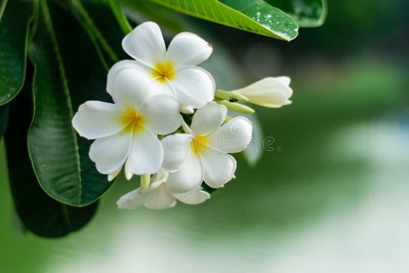Beautiful plumeria flowers. On tree in the garden stock image