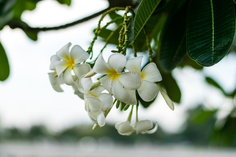 Beautiful plumeria flowers. On tree in the garden stock images