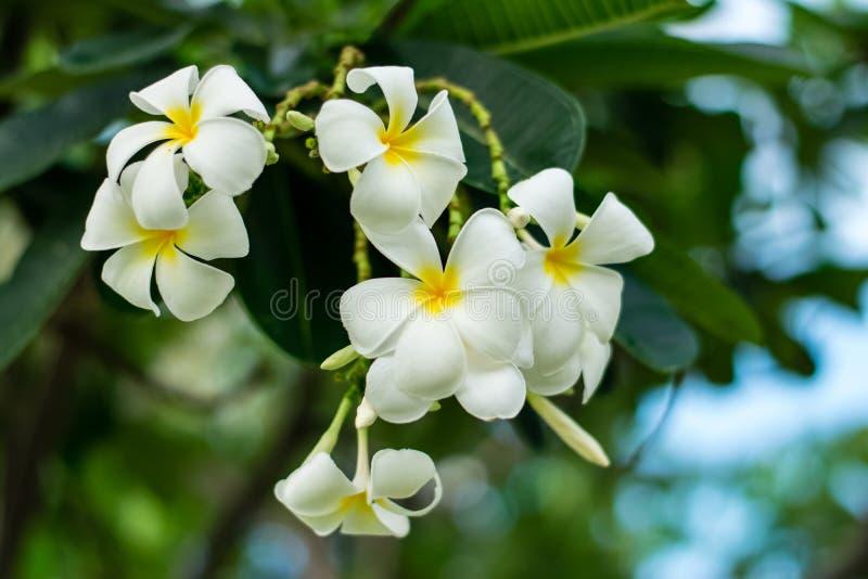 Beautiful plumeria flowers. On tree in the garden royalty free stock photos