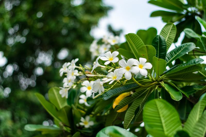 Beautiful plumeria flowers. On tree in the garden royalty free stock images