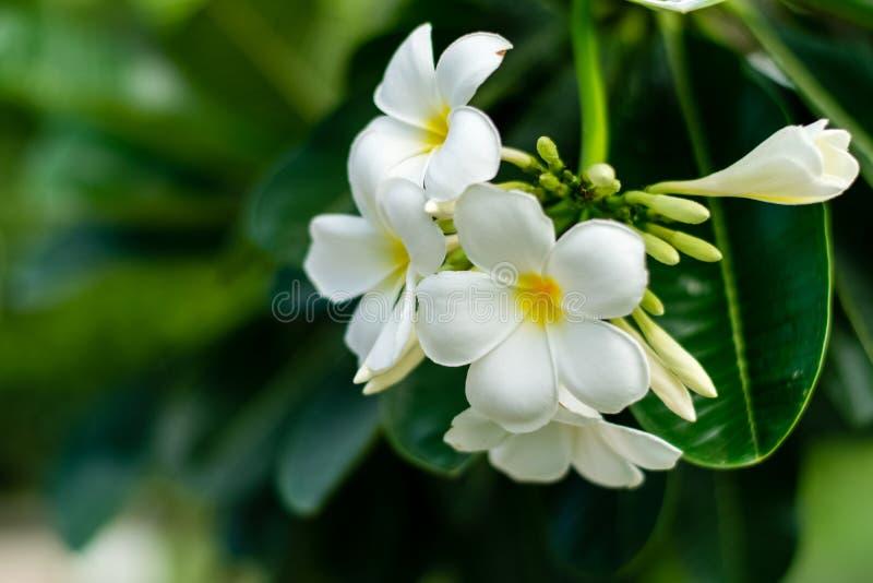 Beautiful plumeria flowers. On tree in the garden stock photos