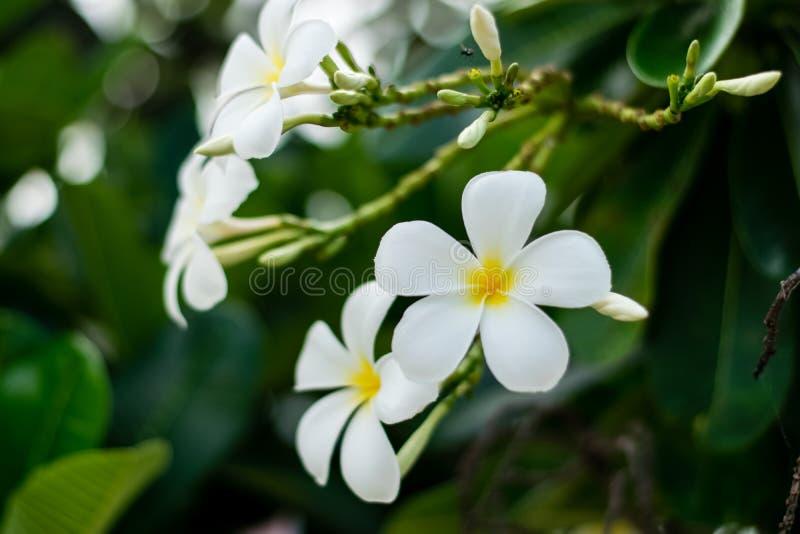 Beautiful plumeria flowers. On tree in the garden royalty free stock photo