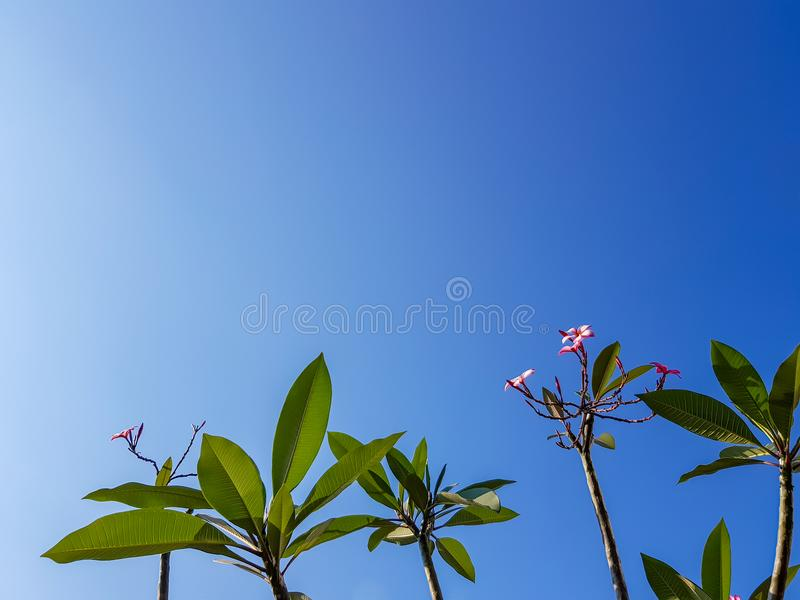 Beautiful Plumeria or Frangipani flower tree branches, shade of pink flower, fresh green leaves on summer blue sky copy space. Beautiful Plumeria or Frangipani royalty free stock image