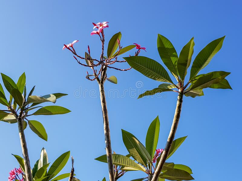 Beautiful Plumeria or Frangipani flower tree branches, shade of pink flower, fresh green leaves pattern on clear blue sky. Background, Thailand royalty free stock photos
