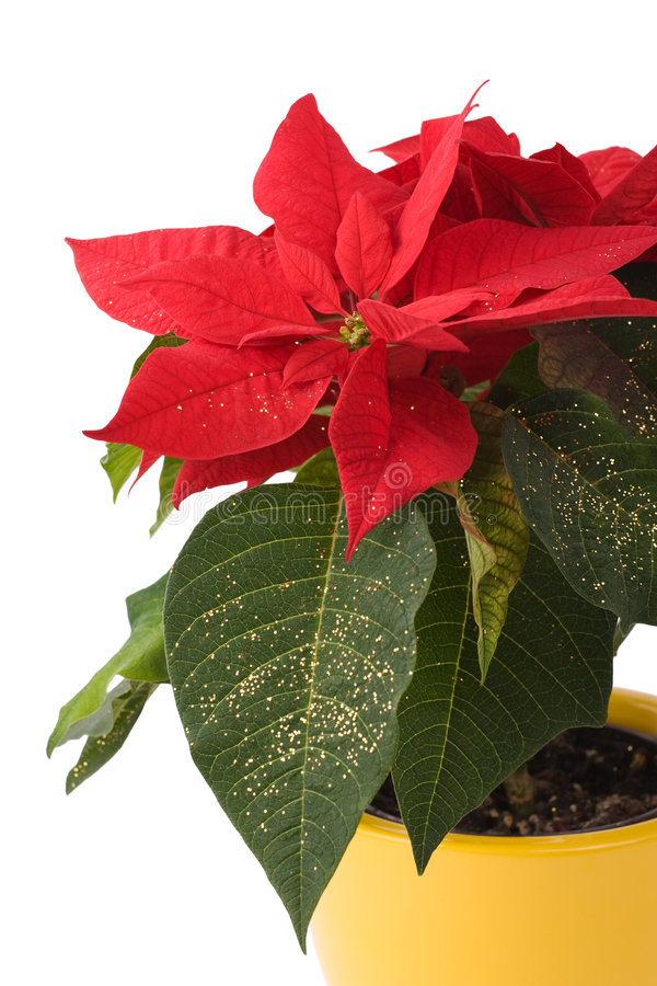 Free Beautiful Poinsettia - Christmas Star Royalty Free Stock Image - 7461166