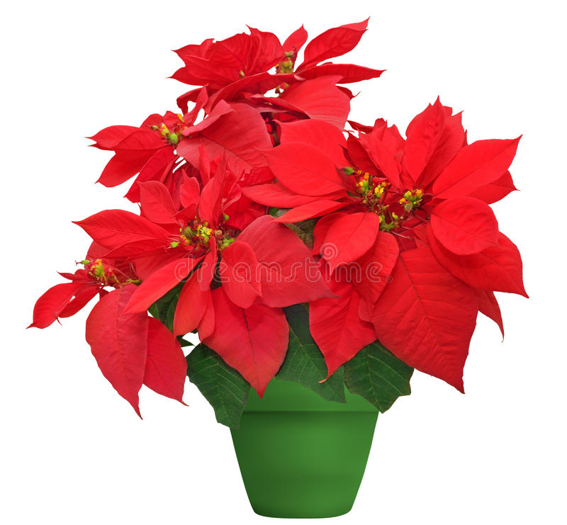 Beautiful poinsettia stock images