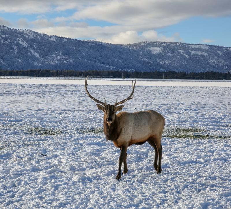 Beautiful 6-point male elk royalty free stock photo