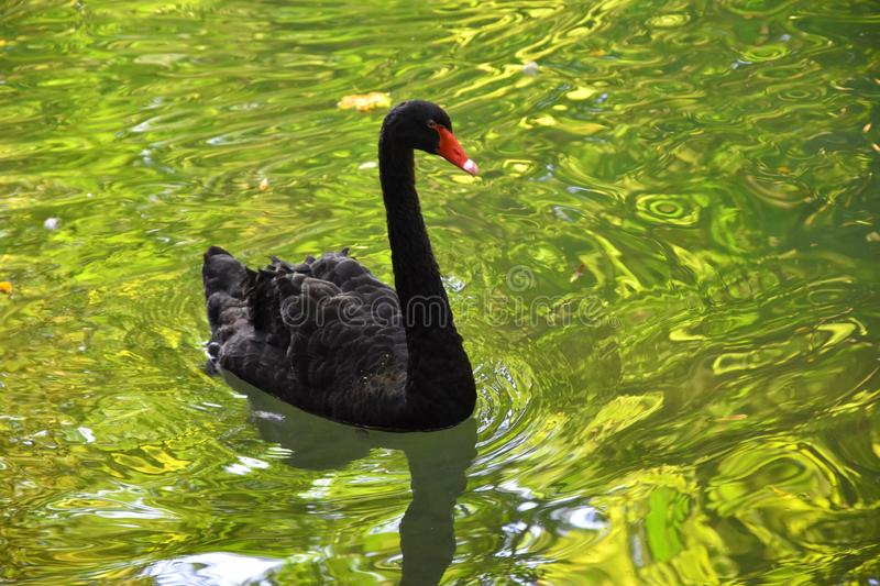 A black swan in a pond with golden reflections royalty free stock image