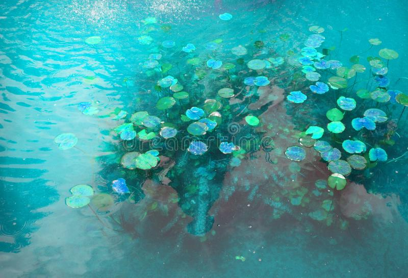 Beautiful pond with water Lily plant, turquoise toned background with glow effect, fantasy, fabulous, copy space royalty free stock photo