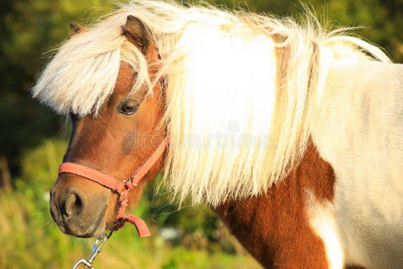 Beautiful pony on sunny day. Pet horse stock photos