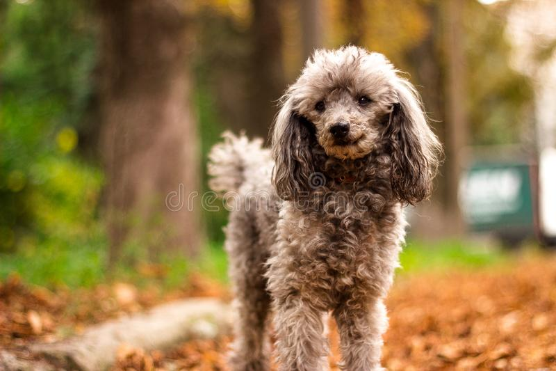 Beautiful poodle in the colorful autumn. Dog in gold park royalty free stock photo