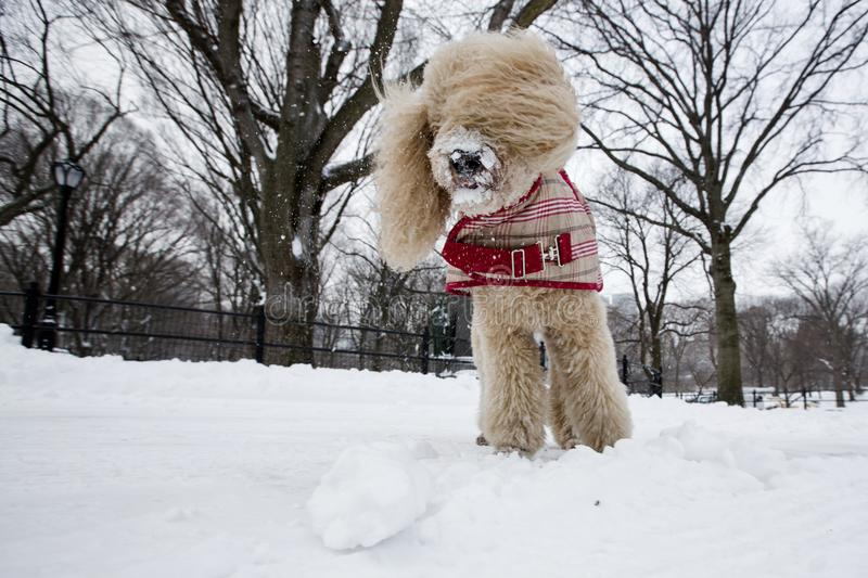 Beautiful poodle dog playing in the snow, central park new york royalty free stock photos