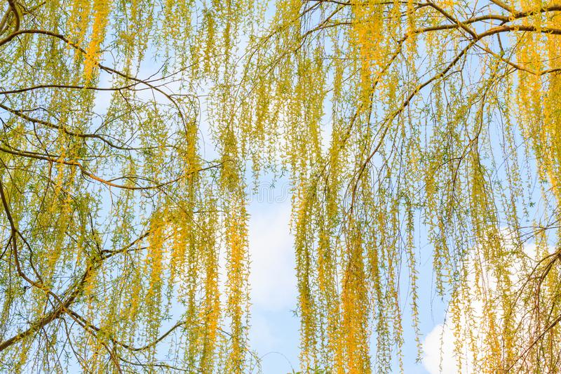 Beautiful poplar branches in the spring sky stock photography