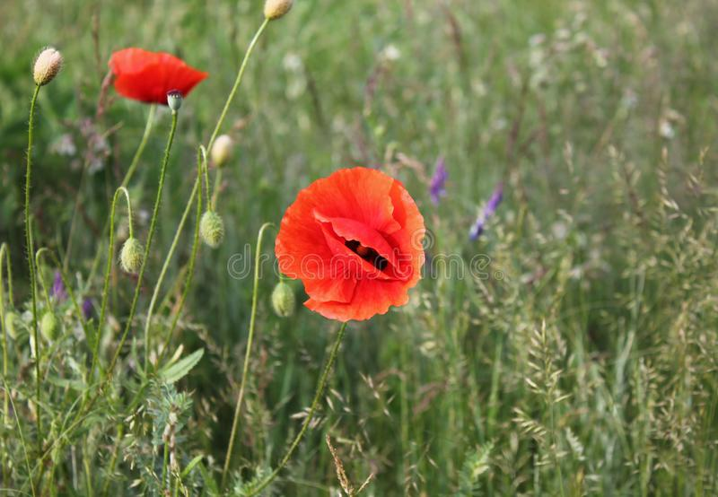Beautiful poppies in nature royalty free stock photography