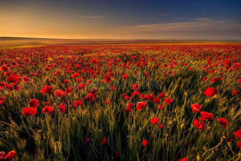 Poppy field in a wheat field against blue sky stock photos
