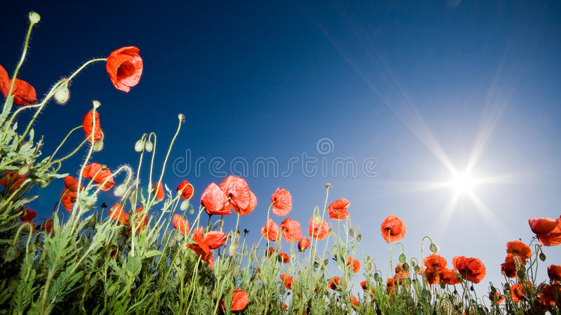 Download Beautiful Poppy Field Royalty Free Stock Photography - Image: 9609967