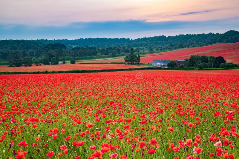 Beautiful Poppy Field at Brewdley, West Midlands at Dawn. Amazing Poppy Field at Brewdley, West Midlands at Dawn royalty free stock photo