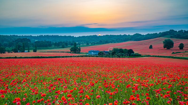 Beautiful Poppy Field at Brewdley, West Midlands at Dawn. Amazing Poppy Field at Brewdley, West Midlands at Dawn royalty free stock images