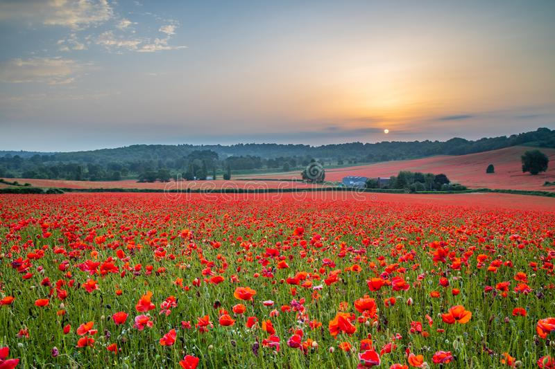 Beautiful Poppy Field at Brewdley, West Midlands at Dawn. Amazing Poppy Field at Brewdley, West Midlands at Dawn stock photo