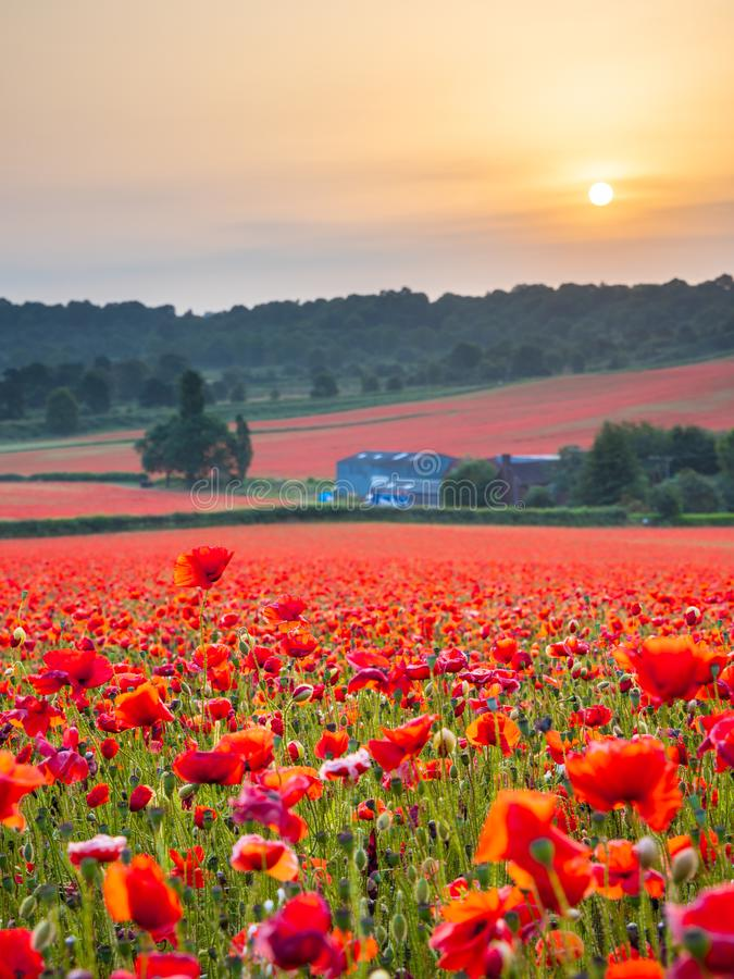Beautiful Poppy Field at Brewdley, West Midlands at Dawn. Amazing Poppy Field at Brewdley, West Midlands at Dawn royalty free stock photos