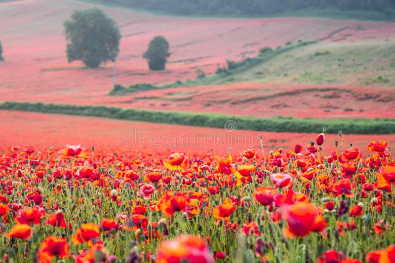 Beautiful Poppy Field at Brewdley, West Midlands at Dawn. Amazing Poppy Field at Brewdley, West Midlands at Dawn stock image