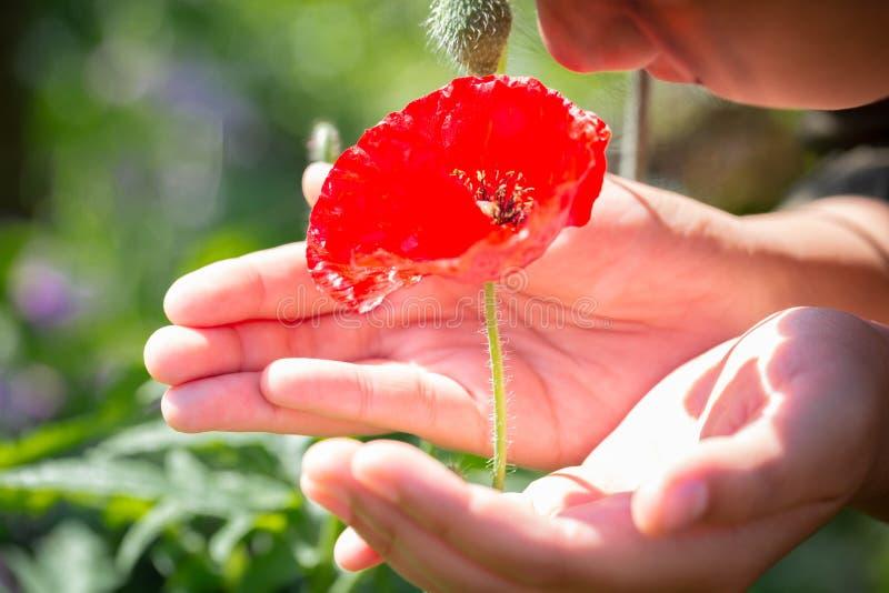 Beautiful poppy flower in girls hand in poppy field stock image